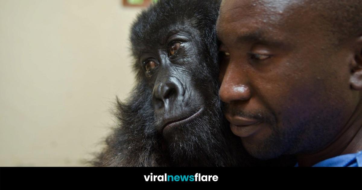 man cuddling gorilla
